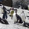 690 African Penguins, Cape Point Peninsula