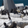 578 Great Black Cormorants and Ibis, Robben Island