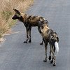 152 Wild Dogs, Kruger National Park