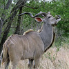 176 Kudu,Kruger National Park