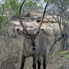 175 Waterbuck, Kruger National Park