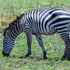"<b>Serengeti National Park, Tanzania</b> A <a href=""http://en.wikipedia.org/wiki/Plains_zebra"" target=""link target"">Plains Zebra</a> in <a href=""http://en.wikipedia.org/wiki/Serengeti_National_Park"" target=""link target"">Serengeti National Park</a>."