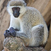Vervet Monkey concentrating hard on what the next move will be, Lake Nakuru, Kenya