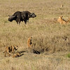 Play time for the kids, while the older ones are wary and keep a watch on the buffaloes