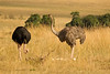 Ostrich pair guards eggs
