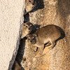 Hyrax or Dassie's as they are commonly known