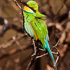 Swallow-Tailed Bee Eater