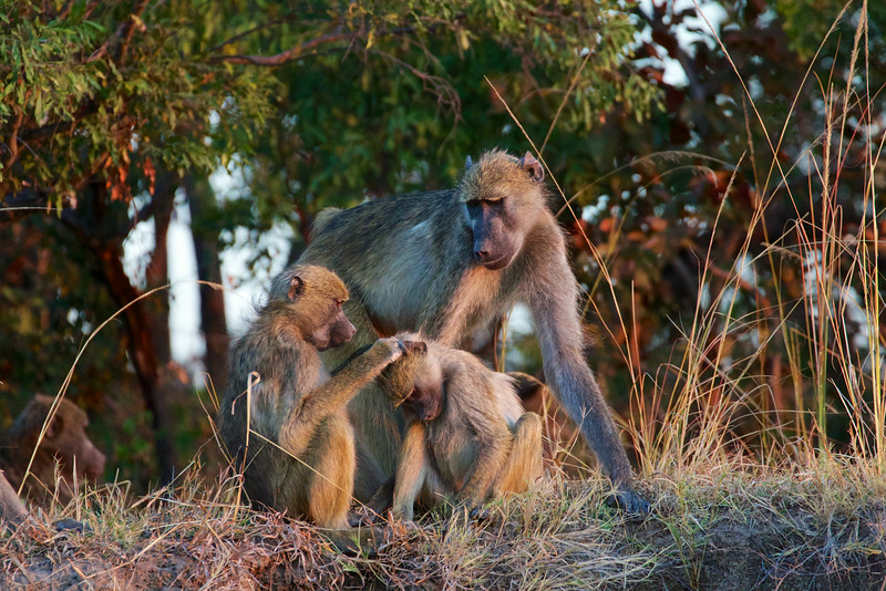 Chacma Baboons on the Zambezi