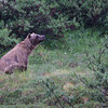 Grizzly Bear, shortly after Eielson, Denali Nat'l Park, 07/19/2014.