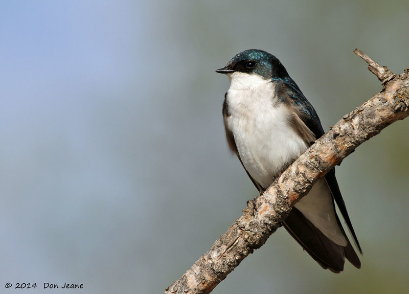 Tree Swallow, Toad River Lodge, 05/28/2014.