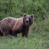 2nd Grizzly Bear - best of the trip, Denali Nat'l Park, 07/19/2014.