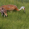 Adult Sandhill Crane with chick (and worm), Beluga Slough, Homer, 07/05/2014.
