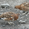 One of the smaller creatures in the big state of Alaska is the Willow Ptarmigan, the Alaskan State Bird.  In the winter they are white with black feathers in their tails but in the summer they are typically brown.  This bird is part of the sub family of the grouse.