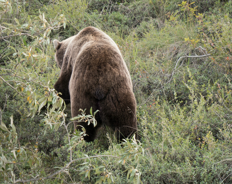 The lumbering behind of the Alaskan Grizzly bear.
