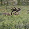 A sneak peak of the many free range caribou grazing in the tall grass of Denali National Park.