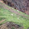 Dall Sheep on Hillside