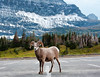 It finally snowed after I've been waiting 2 summers, but mostly on the east side of Glacier Nat. Park. When I got to Logan Pass a week later there was a little snow left.  This Big Horn sheep was more interested in licking antifreeze off the parking lot surface, which is not healthy, of course. Notice his blue mouth.  September, 2014.