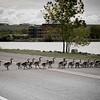 Gooses  at Great Falls Montana