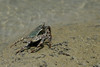 Crabs at Jolly Buoy island, A&N, Andaman & Nicobar, Islands, India