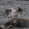 It may seem brutal but the Giant Petrel is simplaying its part in the life cycle of South Georgia and Antarctica. They are simply cleaning up the mess to survive