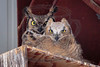 Great horned owl (f) w chick in the hay barn.