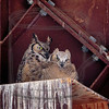 Great horned owl w chick in the hay barn: I sense disapproval.