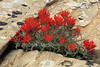 Slickrock Paintbrush, Castilleja chromosa, Arches National Park, Utah, USA, North America, Scrophulariaceae, Snapdragon Family