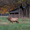 Young Elk bull in Boxley Valley