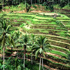 Terraced Rice Paddies On Bali
