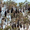 Flying Fox Bats @ Centennial Parklands Sydney