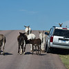 Wild Donkeys in Custer State Park