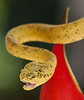 Yellow eyelash viper- deadly