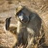Baboon, Moremi Game Reserve, Chief's Camp, Botswana