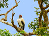 Brazil, southern Amazon, Mato Grosso, King Vulture