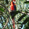 Another regular, we couldn't get enough of this Scarlet Macaw.