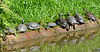 Turtles lining up