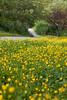 Field of Buttercups, pathway and split log fence make for a pleasant walk in Colony Farm, Port Coquitlam, BC