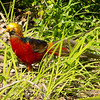 A Golden Pheasant - sounds like a pub in Barnet!