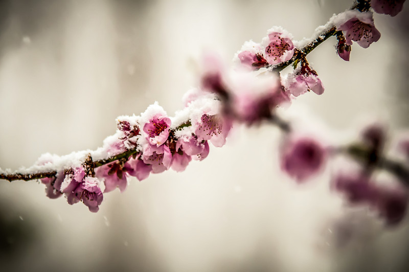 peach blossom covered in snow in early february