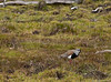 Torres del Paine National Park, Chile: southern lapwing