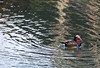 Mandarin duck in a pond at the Humble Administrator's Garden in Suzhou.
