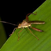 Costa Rica 2013: Dominical - 022 Broad-headed bug (Alydidae: Alydinae: Hyalymenus sp. probably H. tarsatus)