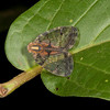 Costa Rica 2013: Dominical - 113 Net-winged Planthopper (Nogodinidae: probably Biolleyana sp. or Nogodina sp.)