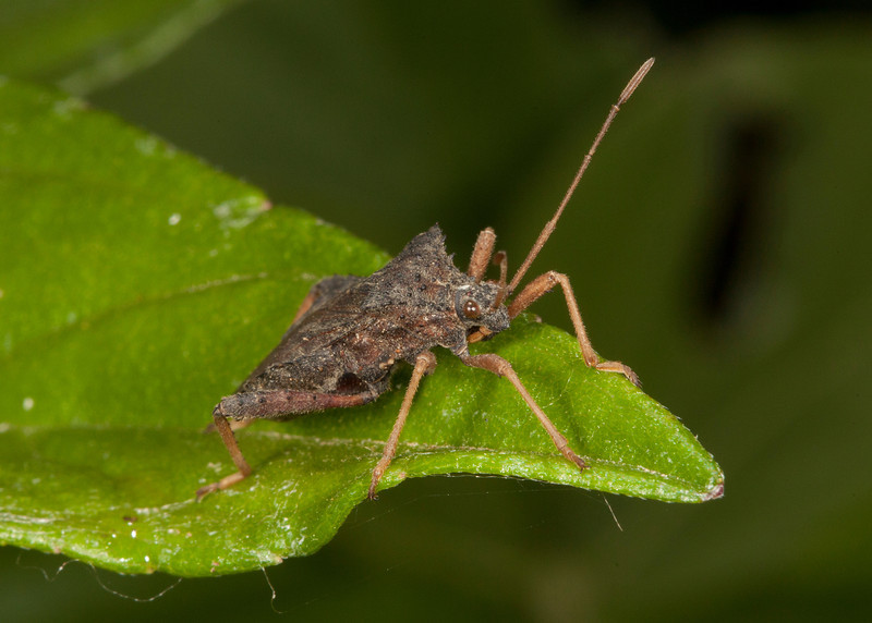 Costa Rica 2013: Uvita - 426 Leaf-footed Bug (Coreidae)