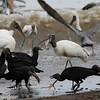 Wood Storks and Black Vultures - west coast