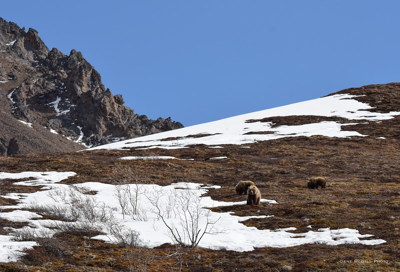 Sow, cubs in Denali National Park
