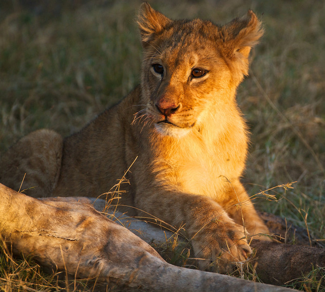 Young Lion, Moremi Game Reserve, Chief's Camp, Botswana