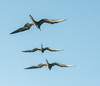 A trio of Great Frigatebird in flight