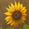 Sun Flower with Backlighting