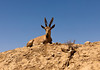 A wild male Ibex looked down on us near the Ein Avdat National Park in the Negev Desert region of Israel.
